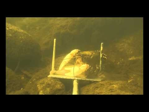 Rare Murray River crayfish interacting with baited camera